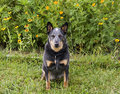 Blue Heeler in Yellow flowers Royalty Free Stock Photos