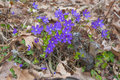 Blue hepatica in oak and pine forest april stockholm sweden Stock Photos