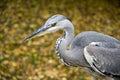 Blue heron Royalty Free Stock Photos