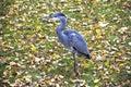 Blue heron Royalty Free Stock Image