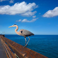 Blue heron ardea cinerea in newport pier california great usa Stock Photo