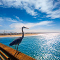 Blue heron ardea cinerea in newport pier california great usa Royalty Free Stock Image