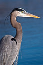 Blue Heron, Ardea herodias Royalty Free Stock Photo