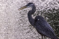 A blue heron calmly walking along the bank of a pond near my home on a windy day Royalty Free Stock Photos