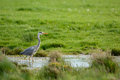 Blue heron in ditch walking Royalty Free Stock Photos