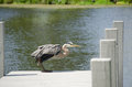 Blue heron on dock a sitting a in fenwick island de Stock Image