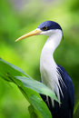 Blue heron egret beautiful sitting in branch of a tree Stock Image
