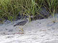 Blue heron fledgling this is a photograph of a walking on the beach at ft de soto park in florida Royalty Free Stock Images