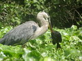 Blue Heron Holding Freshly Caught Fish Royalty Free Stock Photo