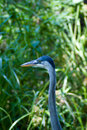 Blue Heron by the Lake Royalty Free Stock Photography