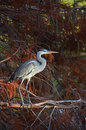 Blue heron in pluvial forest at sunset Royalty Free Stock Images