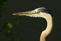 Blue Heron Profile Royalty Free Stock Image