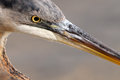 Blue Heron Profile Royalty Free Stock Photo