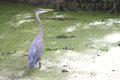 Blue heron in the swamp Stock Images