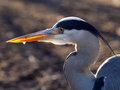 Blue heron with water drop on his beak Royalty Free Stock Photos