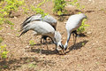 Blue herons and little chick Stock Image