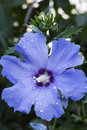 Blue hibiscus flower with water drops closeup Stock Photos