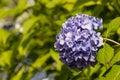 Blue Hortensia Flowerhead