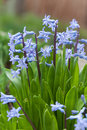 Blue hyacinth bunch Stock Photo