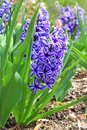 Blue hyacinth flower in filed with green leaves Royalty Free Stock Photo