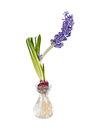 Blue Hyacinth flower in glass vase Royalty Free Stock Photography