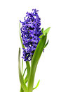 Blue hyacinth isolated white background Stock Photography