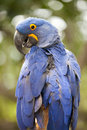 Blue hyacinth macaw anodorhynchus hyacinthinus brilliant with a yellow ring around its eye Royalty Free Stock Photo