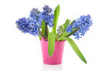 Blue Hyacinths in pink bucket Royalty Free Stock Photo