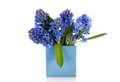 Blue hyacinths in vase bouquet modern over white background Stock Images