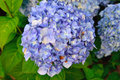 Blue Hydrangea Blooming In The...