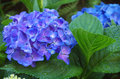 Blue hydrangea Royalty Free Stock Photo