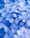 Blue hydrangea flower Stock Photo
