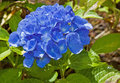 Blue Hydrangea Flower After Rain Stock Photo
