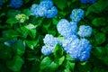 Blue Hydrangea flowers at Mimurotoji Temple (Mimuroto-ji) Garden in Uji City, Kyoto, Japan. Royalty Free Stock Photo