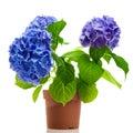 Blue hydrangea isolated Royalty Free Stock Photo