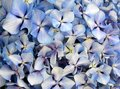 Blue Hydrangea Hydrangea macrophylla or Hortensia flowers close up.Floral background. Royalty Free Stock Photo