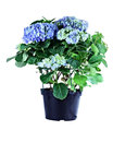 Blue hydrangea potted isolated over a white background with clipping path Royalty Free Stock Photo