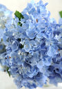 Blue hydrangea texture Royalty Free Stock Photography