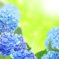 Blue hydrangeas on a floral background Royalty Free Stock Image