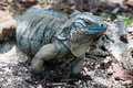 Blue iguana cayman islands a rare found only in the in the caribbean Royalty Free Stock Photos