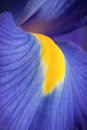 Blue Iris Royalty Free Stock Images