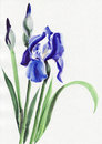 Blue iris Royalty Free Stock Photo