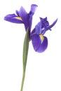 Blue iris or blueflag flower Royalty Free Stock Photo