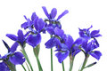 Blue Iris Bouquet Royalty Free Stock Images