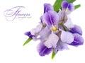 Blue iris flower Royalty Free Stock Photo