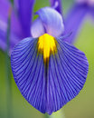 Blue Iris Flower Royalty Free Stock Photo