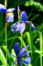 Blue iris flower in garden with green leaves. Royalty Free Stock Photo