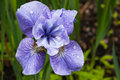 Blue Iris Flower Raindrops Garden Virginia Royalty Free Stock Photography