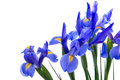 Blue Iris Royalty Free Stock Photo