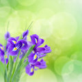 Blue irise flowers fresh over green bokeh background Royalty Free Stock Photography